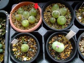 コノフィツム ブルゲリ(Conophytum burgeri)6年目・・・ナメクジにかじられて・・・と右下ピランシー(Conophytum pillansii)咲きそう~♪2013.10.23