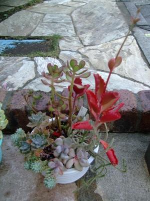 多肉寄せ植え♪真っ赤に色づくカランコエ朱蓮(しゅれん)花芽も見えます♪、星美人、樹氷などなど~2013.11.04