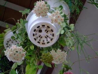 ホヤ サーペンス(Hoya serpens)小型の意外と寒さに丈夫なホヤ~咲いています♪原産地はブータン・チベット近辺~?2013.06.19