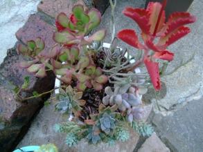 多肉寄せ植え♪真っ赤に色づくカランコエ朱蓮(しゅれん)♪、星美人、樹氷などなど~2013.11.04