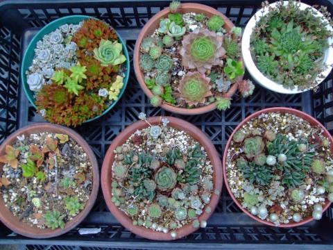 8月末のセンペル寄せ植え~猛暑が続く中耐えています(;一_一)2013.08.30
