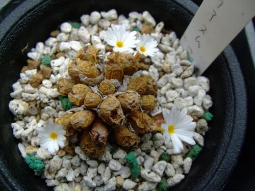 コノフィツム ペルシダム(白花)Conophytum pellucidum ssp. pellucidum var.lilianum~剥けてないのに開花中~すごい~♪2013.10.07