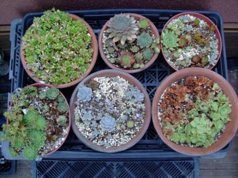 8月末のセンペル、オロスタキス、セダム寄せ植え~続き猛暑にチリチリです(;一_一)2013.08.30