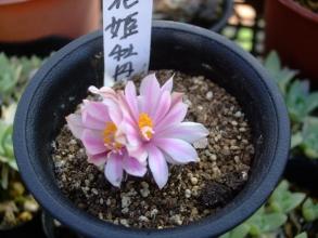 ロゼオカクタス 姫牡丹(白花?)(Roseocactus=Ariocarpus kotschoubeyanus var.albiflrus)2花同時に咲きました♪2013.11.20