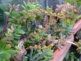 クラッスラ 南十字星(Crassula perforata var. variegata)お花が咲いています♪2013.06.24