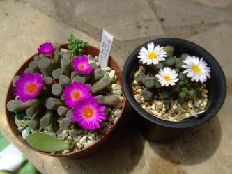 左:フリチア 晃(光)玉(こうぎょく)(Frithia pulchra)ピンク花/右:フリチア 菊光玉(きくこうぎょく)(Frithia humilis)2013.07.01