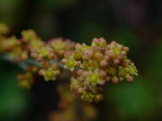 クラッスラ 南十字星(Crassula perforata var. variegata)細か~い花が咲いています♪2013.06.24