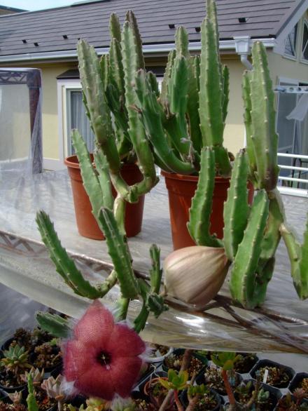 スタペリア グランディフロラ(Stapelia grandiflora)大花犀角(おおばなさいかく)暑いと元気です♪2013.07.22
