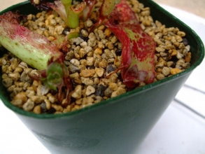 クラッスラ アルバ~斑赤がキレイですがバラバラにして一部放置していたら葉挿し小芽ができていました♪2013.11.07