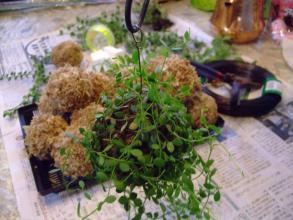 ホムセンで見つけた苔玉のお手本~こんな感じに着生させたい~(^-^)ディスキディア~2013.08.16