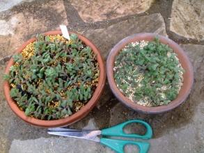 セダム スプリングワンダーが緑に茂っていたので切り刻んでバラバラにしちゃった・・・((+_+))2013.11.08