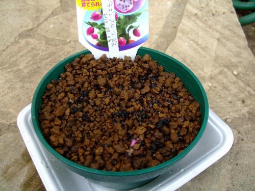 ミニドラゴンフルーツ=エピフィルム フィランツス(Epiphyllum phyllanthus)実の中の種を蒔きました~♪観察します♪2013.08.03