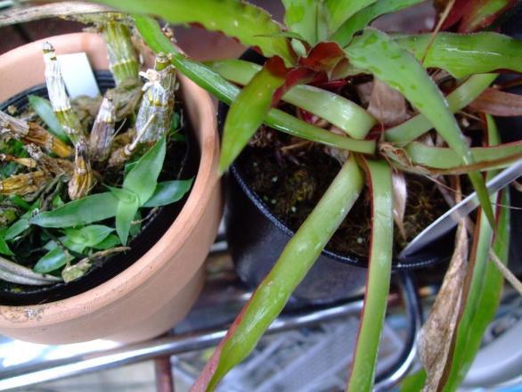フォステレラ ヴィロスラ(Fosterella villosula)なんだかわかりませんが、こぼれ種発芽しています♪2013.08.08