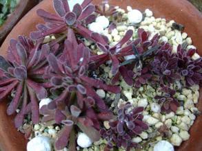 クラッスラ プベッセンス(Crassulaceae Crassula pubescens)まだまだ赤い~断水中2013.08.14