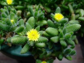 デロスペルマ 雷童(らいどう)黄花~♪ぽちぽち地味に咲いています♪2013.07.16