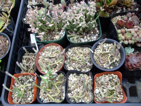 クラッスラ 青鎖竜錦(セイサリュウニシキ)若緑斑入り(Crassula muscosa variegata) 2013.03.18切り戻して置き木していた株はまだこんな伸び具合です・・・2013.07.21