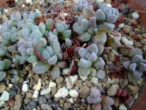 クラッスラ ナマクエンシス コンプトニー(Crassula namaquensis ssp. Comptonii)猛暑を耐えて 何とか生きています♪2013.08.14