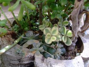 多肉植物寄せ植え講習会(2012.05)で作った寄せ植え~オブツーサ、雅楽の舞、子持ち蓮華も隠れて元気です♪2013.09.27