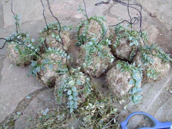 ディスキディア ルスキフォリア斑入り(Dischidia ruscifolia albovariegata)もう一度水苔玉に糸で貼り付けて養生します・・・上手く着いて欲しいです。2013.09.02