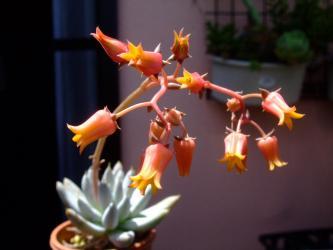 エケベリア トリマネンシス (Echeveria tolimanensis) 開花中~2013.06.03