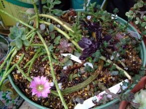 無造作な葉挿しバットに~折れて仕方なく置いておいた紐サボテンが~咲いています♪強い~(^◇^)2013.08.06