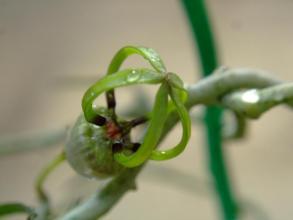 セロペギア アルマンディー (Asclepiadaceae Ceropegia armandii ) 面白いお花~♪只今開花中(^◇^)2013.10.13