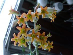 コチレドン 銀波錦(ぎんぱにしき)(Cotyledon undulata?orbiculata)のオレンジな花~下向きで咲くのでのぞかないと見えません♪2013.08.09