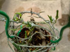 セロペギア アルマンディー (Asclepiadaceae Ceropegia armandii ) 蔓枝が伸びて只今開花中(^◇^)2013.10.13