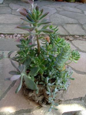 寄せ植え講習会(2012.05)で作った寄せ植え~大きく育ってきました♪2013.09.27