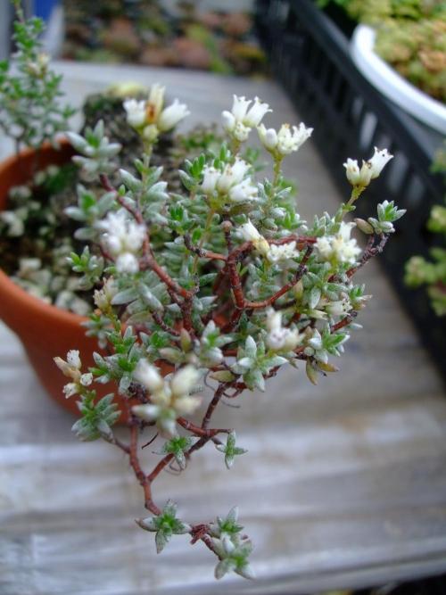 クラッスラ パンクチュラータ(Crassula punctulata) 白い清楚なお花が咲きます♪2013.10.24