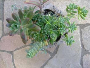 寄せ植え講習会(2012.05)で作った寄せ植え~上から見るとこんな感じです♪2013.09.27