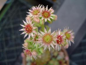 センペルビウムのピンクな花~結構可愛い~♪2013.07.27