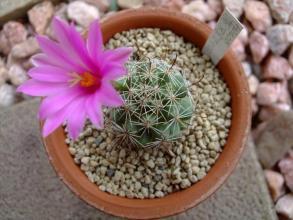 バルチェラ属 蓬莱宮(ほうらいぐう)Bartschelle schumannii=Mammillaria schumannii(鉤刺系マミラリア)2013.07.31