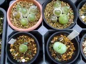 コノフィツム ブルゲリ(Conophytum burgeri)6年目と右下ピランシー(Conophytum pillansii)生きてる♪2013.10.16