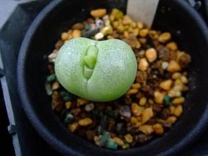コノフィツム ピランシー(Conophytum pillansii)蕾かしら?♪2013.10.16
