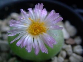 コノフィツム ピランシー(conophytum pillansii)11:30頃から咲き始めいていました♪2013.11.05