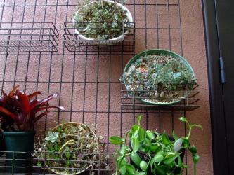 すごい生命力なサボちゃん~上から2ケ目の丸皿に小さいサボちゃんが~蕾をあげています♪2013.06.17