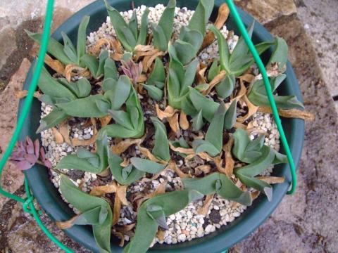 グロッチフィルム(Glottiphyllum sp.)濃いピンク花・・・チリムチです( 一一)2013.08.26