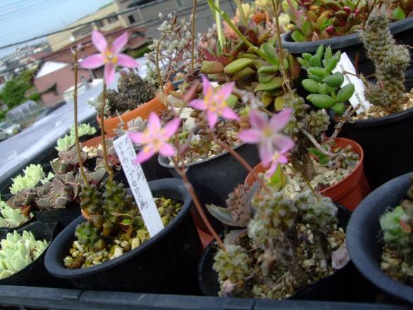 アナカンプセロス~花盛り~夕方3:50小さいピンウな星咲花も開きました~♪2013.07.20