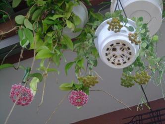 ホヤ サーペンス(Hoya serpens)小型の意外と寒さに丈夫なホヤ~蕾のころ~♪原産地はブータン・チベット近辺~?2013.06.16