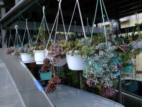 多肉吊鉢~1階カーボードベランダの軒下に吊るしっぱなしな多肉寄せ植え~日当たりな部分だけ良い色が付いてきました♪2013.09.30