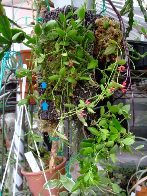 ディスキディア ペクテノイデス(Dischidia pectenoides)=カンガルーポケット、フクロカズラ~新蔓が伸び始め花芽も上がり活き活きしてきました♪2013.07.27