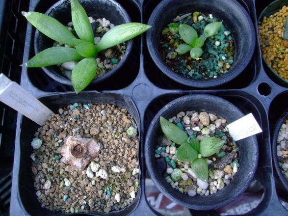 ブルビネ・・・下段左側:ブルビネ ハオルチオイデス(Bulbine haworthioides)・・・新芽が無くなり根がスカスカでした・・・2013.10.19
