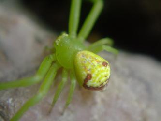 キミドリ色な蜘蛛~♪発見素早い足取りで糸もお尻から引いています♪2013.06.23