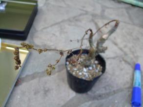 アエオニウム スミッチー(スミティー)(Aeonium smithii ) ~夏に落葉するタイプ。涼しくなってからの芽吹きを待ちます♪2013.07.18