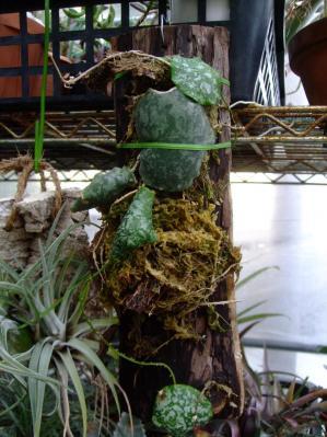 ホヤ インブリカタ(Hoya imbricata )今年伸びた蔓に生えた葉は3枚だけ~♪2013.09.24