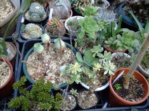 アエオニウム花が咲いたけれどすべて枯れてしまった株はグリーノビア オーレアだけのようです。2013.07.18