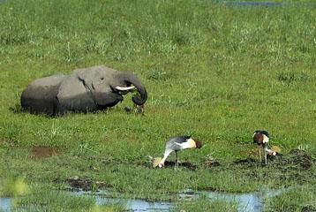 blog Elephant & Crowned Crane, Enkongu Narok Swamp P, Amboseli_DSC0061-1.24.08